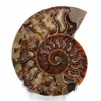 Ammonite sciée et polie une pièce