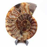 Ammonite coupée une pièce