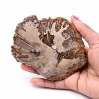 Tranche de bois fossile pétrifiée