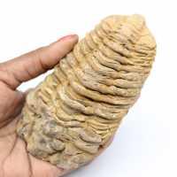 Trilobite fossile