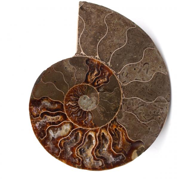 Fossile d'ammonite double sciée et polie