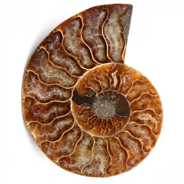 Fossile d'ammonite polie et sciée