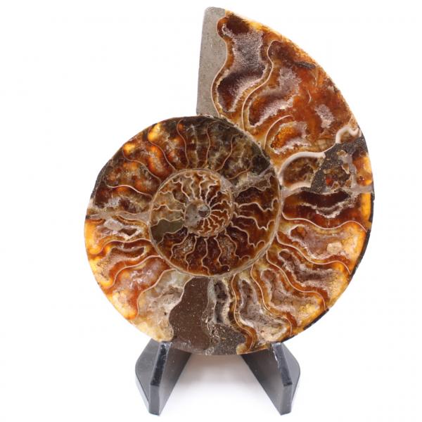 Fossile poli d'Ammonite
