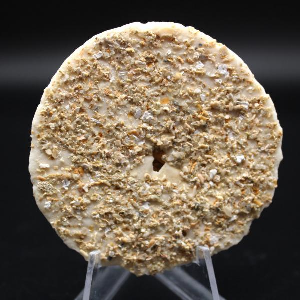 Scutella, oursin fossile