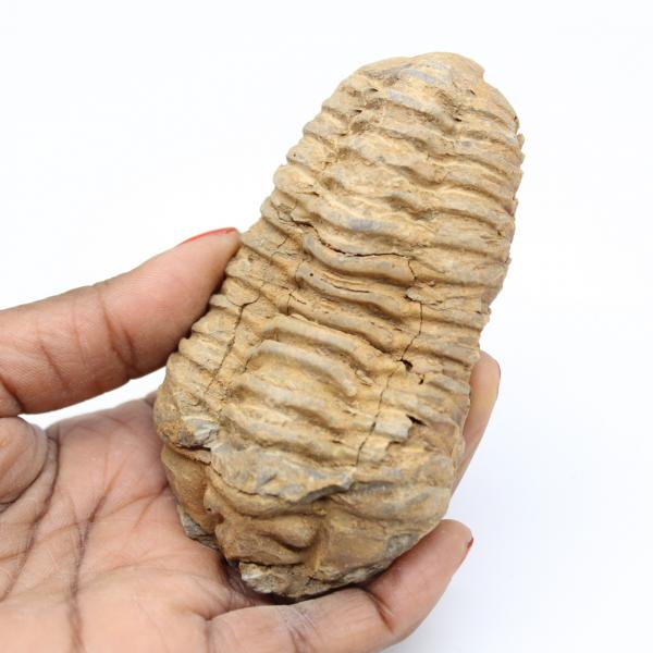 Fossile de trilobite
