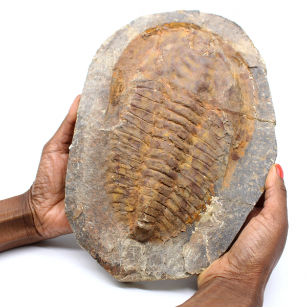 Grand fossile de trilobite provenant du Maroc
