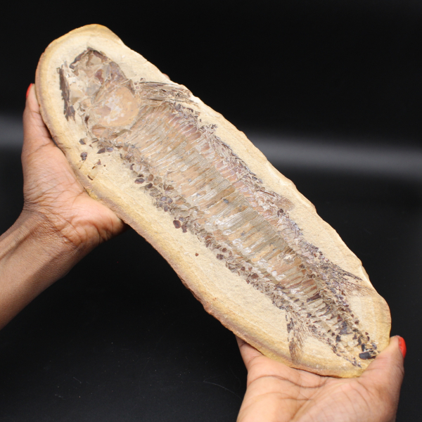 Grand fossile de poisson