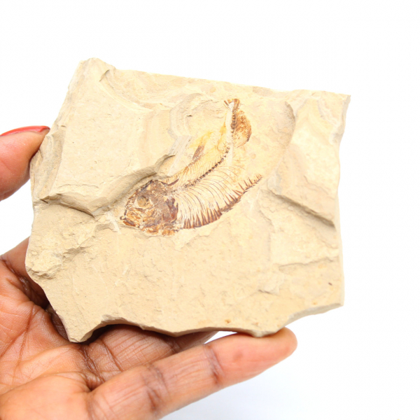Fossilisation de poisson du Maroc